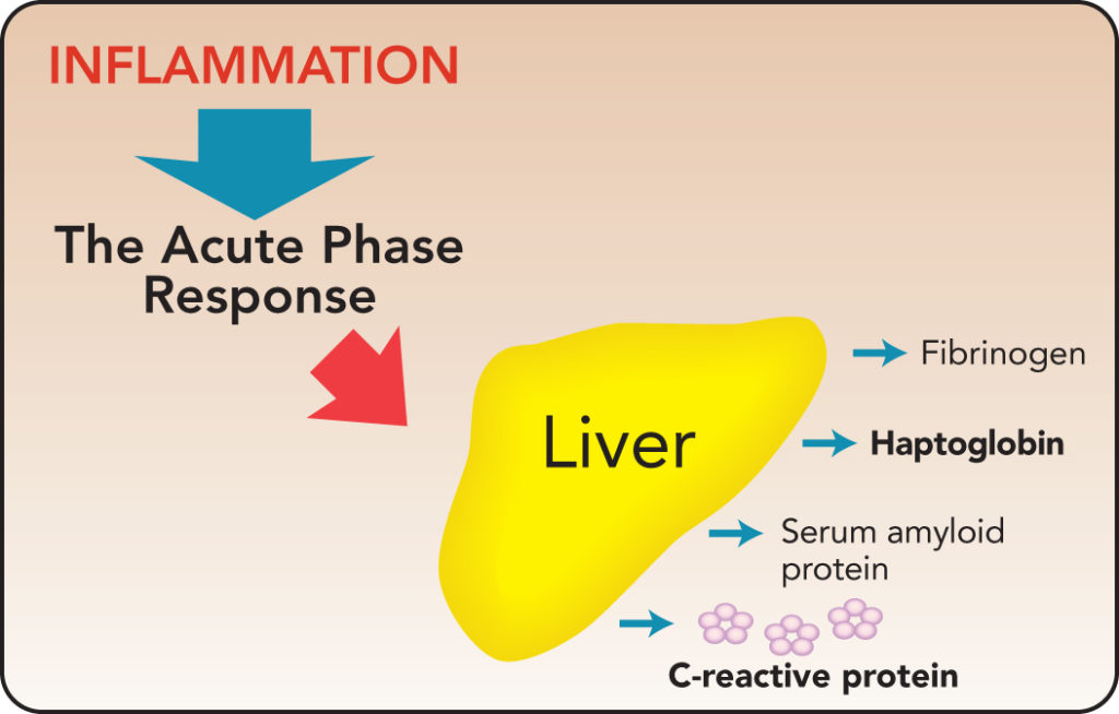 Diagram of the inflammatory response triggering acute phase protein production by the liver.