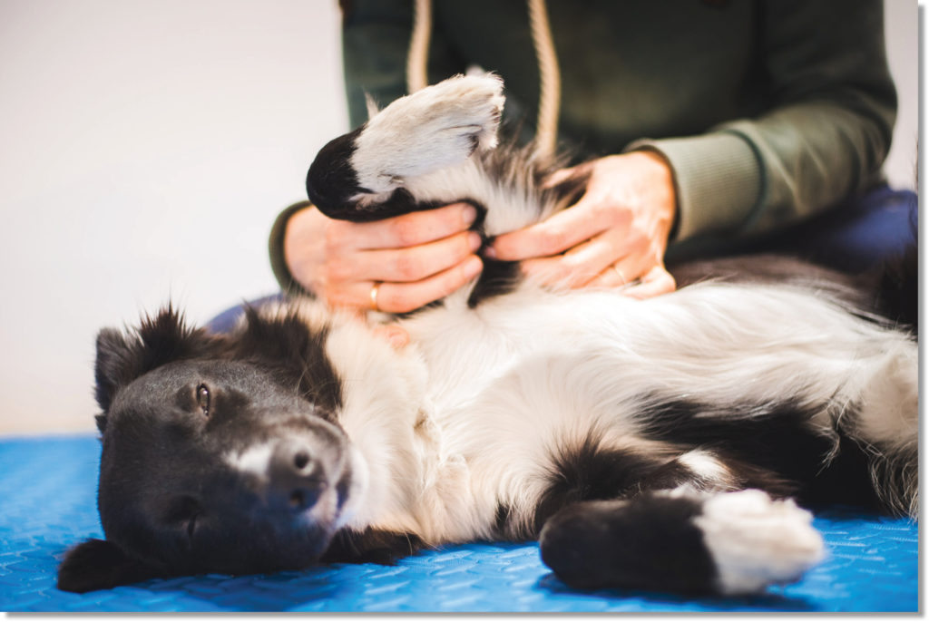 Dog receiving massage therapy.