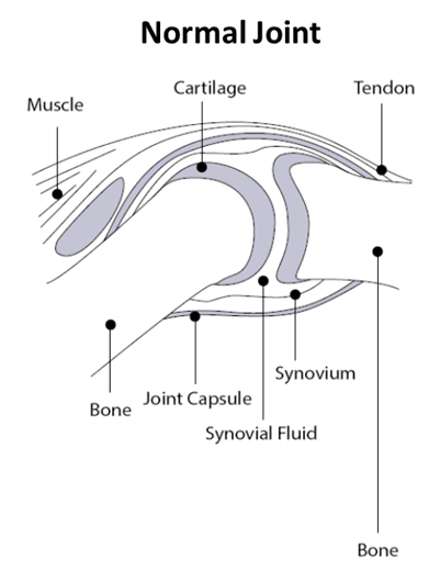 Diagram of a normal canine joint, showing the internal structures.