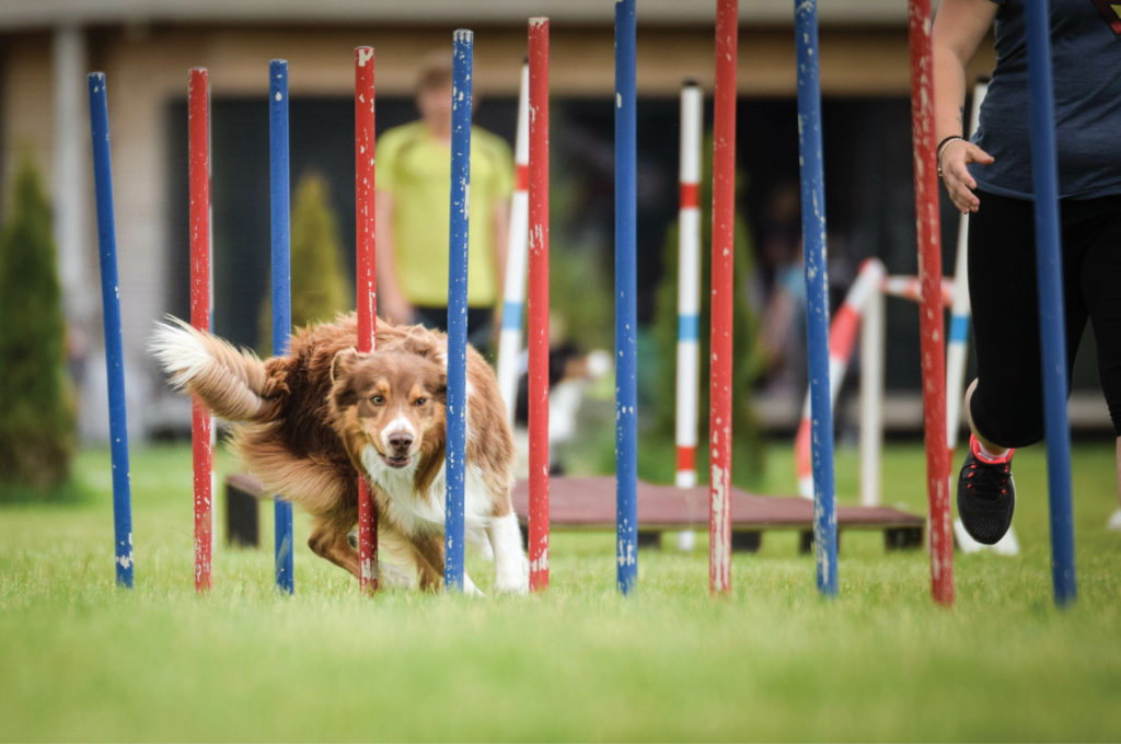 Agility dog doing the weave